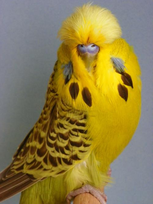 Rüyada Sarı Muhabbet Kuşu Görmek Ruyatabirlericom